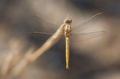 Orthetrum brunneum ♀ - Southern Skimmer (Orthetrum brunneum) female dragonfly.