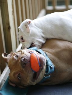 pit bull playing with her adopted foster puppy
