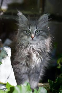 chaton-norvegien-38_003_004.jpg