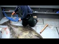 How To Filet: A 300 Pound Alaskan Halibut - YouTube