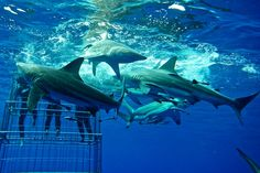 Shark cake diving KZN
