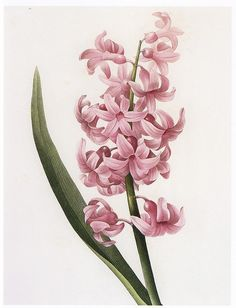 Hyacinth represent constancy, while blue hyacinth expresses sincerity.