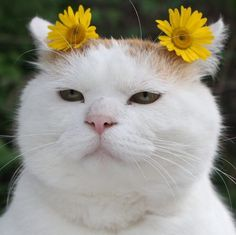 """Shirneko: """"Yes, I let my human put flowers behind my ears and I think I look gorgeous with them!"""""""