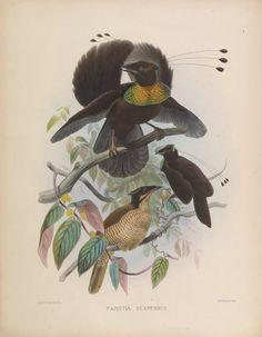 Una monografía de la Paradiseidae o aves del paraíso. - Biodiversity Heritage Library
