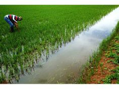 Paddy price looks firm for more details: http://www.agribazaar.co/index.php?page=item&id=2398