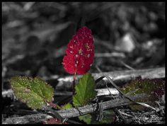 Hoja roja B&N_Color  M6110010