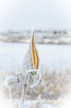 Millkweed pod in the frost by the marsh.