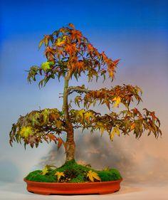 ~~Japanese Maple bonsai - Autumn colours by mariusz.and~~