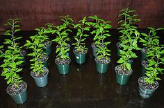 Goji-Berry-Plant-Tree-Lycium-barbarum-Edible-Fruit-Tree-Shipped-in-4-Pot