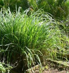 "Lemongrass. Cymbopogon Citratus. Essential Oil is helpful for ligaments, tendons and tissue. Say ""goodbye"" to carpal tunnel."