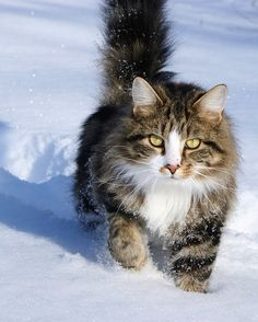 snow http://www.mainecoonguide.com/maine-coon-personality-traits/