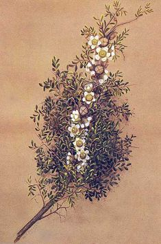 Leptospermum spinescens, Spiny Teatree Artist: Margaret Forrest (1845-1929)