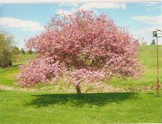 Kwanzan Cherry at Sugarloaf Herb Farm