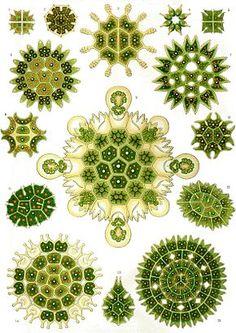 chlorophyta   Chlorophyta - Wikipédia