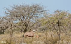 Gemsbok mother and calf.  Northern Cape, South Africa
