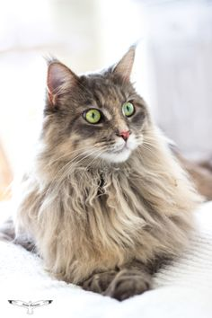 Maine Coon by Attia