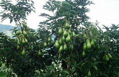 Avocado tree Fruit Plants, Fruit Trees, Trees To Plant, Avocado Tree, Unique Gardens, Landscape, Vegetables, Landscaping Ideas, Food