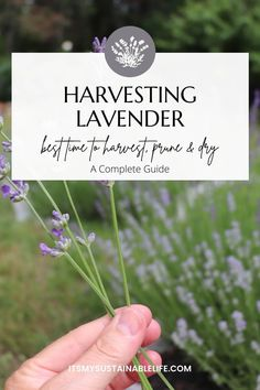 Growing and harvesting lavender is a joy. Knowing when the best time to harvest, prune, cut it back, and dry it is a skill any grower will want to know. | It's My Sustainable Life @itsmysustainablelife #lavender #harvestinglavender #howtocutlavenderback #pruninglavender #dryinglavender #whentoharvestlavender #itsmysustainablelife Organic Herbs, Organic Gardening, Gardening Tips, Lavender Pruning, Growing Lavender, Growing Herbs, Growing Vegetables, Lorraine, Small Space Gardening