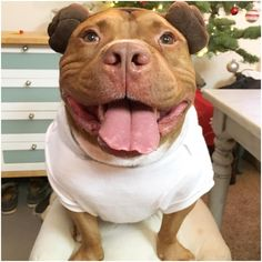 This Rescued Pit Bull Is The Ultimate Costume Party Guest – AngusPost