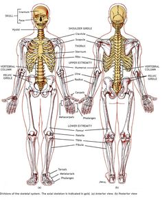 1000+ images about musculoskeletal system on pinterest | google, Muscles