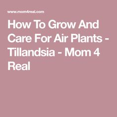 How To Grow And Care For Air Plants - Tillandsia - Mom 4 Real