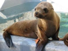 """A baby California Sea Lion patient - """"Boney Moroni"""" - recovering at the Marine Mammal Center, in Sausalito, CA."""