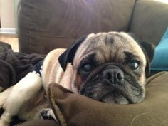 Pug Rescue Network would like to welcome Rocky 4, to rescue. Rocky is 4 years old, housebroken and will need neutered and brought up to date on vaccines.