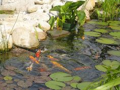 There are several koi pond plants with various benefits for your pond. Learn more about the aquatic plants here and choose the right one for your koi pond! Fish Ponds Backyard, Backyard Water Feature, Koi Ponds, Swimming Ponds, Garden Ponds, Pond Plants, Aquatic Plants, Water Plants, Koi Fish Care