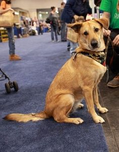 An adult Chinook, one of the rare dog breeds from America.