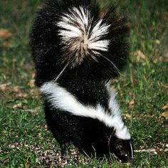 Evolutionary biology can explain skunks' striking appearance, but only chemistry can get rid of the smell.