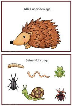Hedgehog book information information all subjects expertise lernrn paint pictures picture cards picture cards preschool grade 1 2 3 Education Subject La Petite Taupe, Hedgehog Book, Kindergarten Portfolio, Nursery School, Elementary Science, Picture Cards, Pre School, Special Education, Diy For Kids