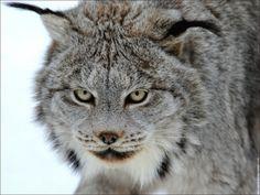 Lynx poderá ser o nome do novo OS X