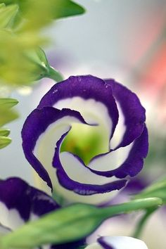 Eustoma 'Echo Blue' Lisianthus