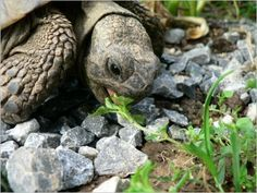 Optimales Futter für Europäische Landschildkröten