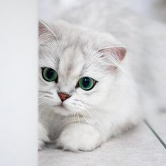 """6,208 mentions J'aime, 62 commentaires - Reggie The Cat (@littlelordreginald) sur Instagram : """"I'm not like other cats. I know what I want for breakfast. I've been thinking about it since dinner."""""""