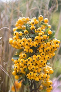 This hardy evergreen shrub is ideal for the autumn garden as it produces light green leaves and luscious yellow berries that wildlife love. Country Cottage Garden, Cottage Garden Plants, Garden Shrubs, Garden Entrance, Evergreen Shrubs, Garden Projects, Garden Ideas, Colorful Garden, Autumn Garden