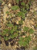 plantule Mauve sylvestre