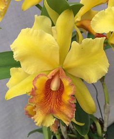Rhyncholaeliocattleya Fortune's Height 'Frilly' (Rhyncholaeliocattleya Fortune x Cattleya Seattle Most Beautiful Flowers, Exotic Flowers, Tropical Flowers, Pretty Flowers, Purple Flowers, Orchid Seeds, Orchid Plants, Orquideas Cymbidium, Yellow Orchid