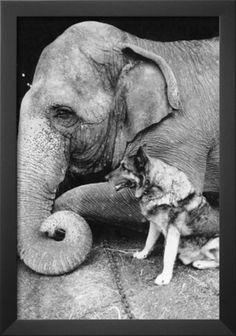 Elephant and German Shepherd.
