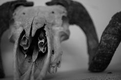 Skull, close up Light And Shadow Photography, Creepy Stories, Skull And Bones, Dark Beauty, Natural World, Macabre, Animals Beautiful, Close Up, Lion Sculpture
