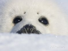Baby seals – adorable, helpless, and destined to die - Candace Calloway Whiting