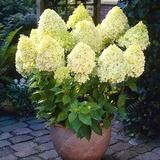 20 Pcs/Bag Vanilla Strawberry Hydrangea Flower plant For Planting Flower Bonsai Or Tree plant Hydrangea Macrophylla Home Garden Hydrangea Tree, Hydrangea Seeds, Hydrangea Shrub, Limelight Hydrangea, Flower Seeds, Vanilla Strawberry Hydrangea, Strawberry Seed, Hydrangea Macrophylla, Flowers Perennials