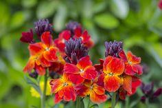 chejr vonný (Cheiranthus cheiri) Pretty Flowers, Plants, Herbaceous Perennials, Wallflower Plant, Growing Seeds, Border Plants, Thistle Flower, Cool Plants, Flower Spike