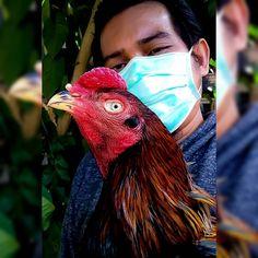 40 Gambar Budidaya Ayam Bangkok Terbaik Di 2020 Bangkok Ayam Ternak Ayam