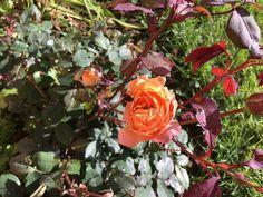 #ladyhamilton #davidaustin #rose