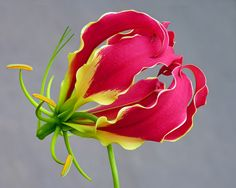 Glory Lily or Flame Lily