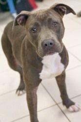 Halle (Blueberry) is an adoptable Pit Bull Terrier Dog in West Milwaukee, WI. Meet Halle! Halle is a 2 year old gray and white Pit Bull mix. Halle is a very friendly girl who prefers being pet to play...
