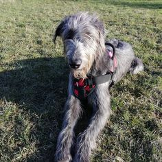 We don't usually write about horses here, but—wait, that's a dog?! Irish Wolfhounds, Dogs, Animals, Animales, Animaux, Pet Dogs, Doggies, Animal, Animais