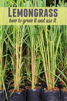 Lemongrass - How to Grow it and Use it . . . .