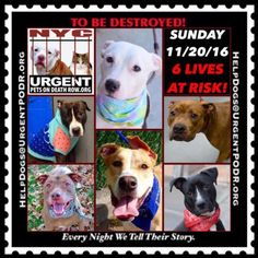 "6 BEAUTIFUL LIVES TO BE DESTROYED 11/20/16 @ NYC ACC **SO MANY GREAT DOGS HAVE BEEN KILLED: Puppies, Throw Away Mamas, Good Family Dogs. This is a HIGH KILL ""CARE CENTER"" w/ POOR LIVING CONDITIONS. Please Share: To rescue a Death Row Dog, Please read this: http://information.urgentpodr.org/adoption-info-and-list-of-rescues/"